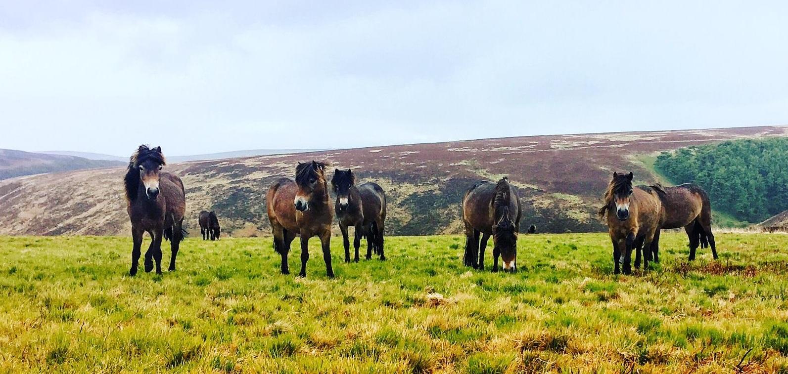 Besuch bei den Exmoor-Ponys